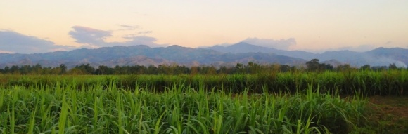 Sugarcane field in Haiti